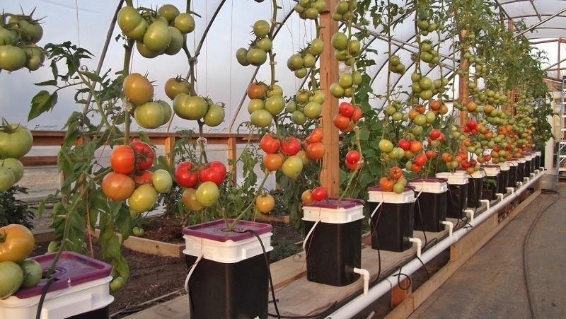 tomate de hidroponia