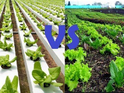 Cultivo hidropónico VS organico