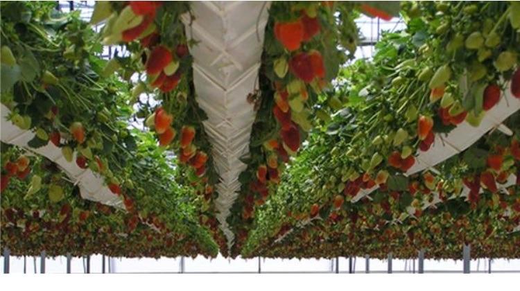 Fresas en hidroponia